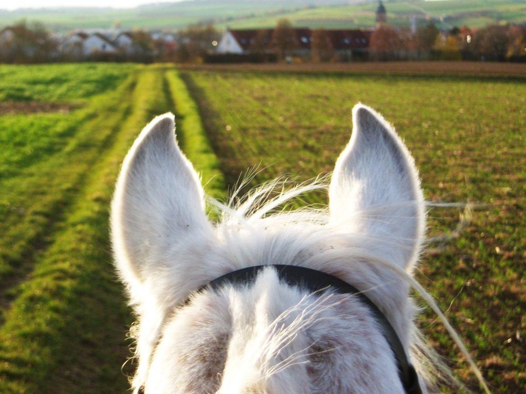 Pferdeohren weiß